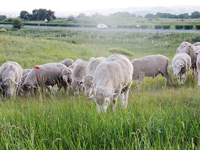 成年昭乌达公羊