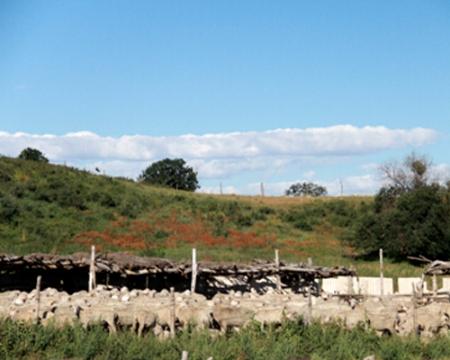 牧户饲养昭乌达肉羊