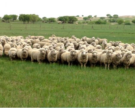 夏季草场上的昭乌达种公羊