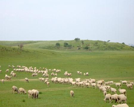 昭乌达母羊