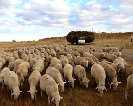 昭乌达肉羊放牧在罕苏鲁草场