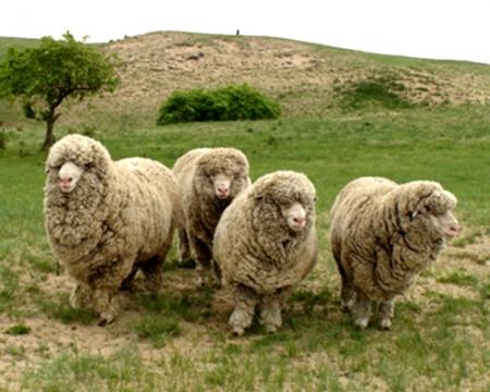 昭乌达种公羊
