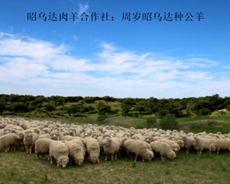 周岁昭乌达种公羊