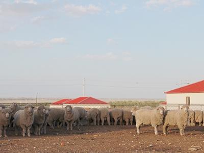 春季昭乌达公羊